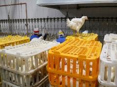 توزیع روزانه ۶ هزار تن مرغ در کشور/ متوسط تلفات ناشی از تنش گرمایی در مرغداریها ۱۰ درصد است